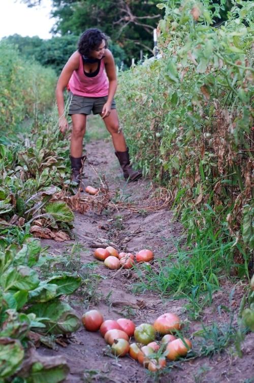 Farmer Marissa Lankes picking tomatoes